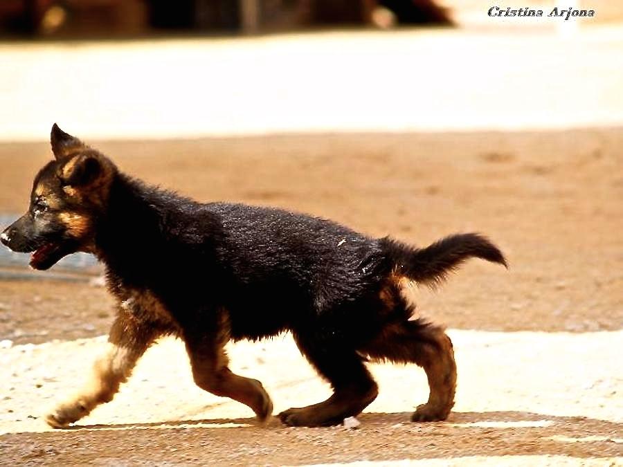 LA INFANCIA. Prisa por crecer (cachorro Miko de Lobo Moro)